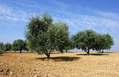 Olives Tree In Provence Poster by Bernard Jaubert