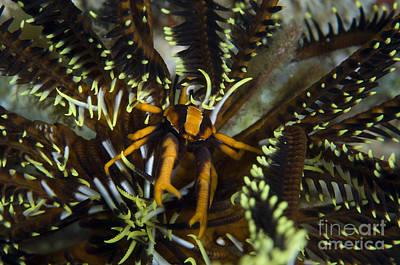 Orange And Brown Elegant Squat Lobster Poster by Steve Jones