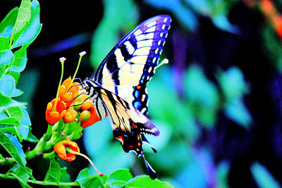 Pale Swallowtail Butterfly Poster by Barry Jones