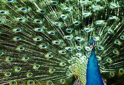 Peacock Poster by Ivan Vukelic