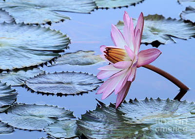 Pink Water Lily Poster by Sabrina L Ryan