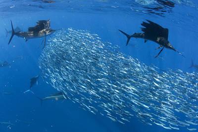 Sailfish Hunt Sardines Using Poster by Paul Nicklen