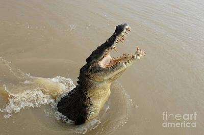 Salt Water Crocodile 2 Poster by Bob Christopher