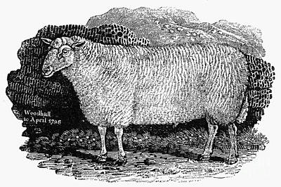 Sheep, 1798 Poster by Granger