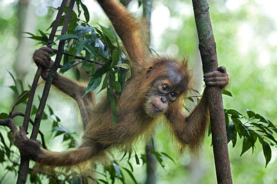 Sumatran Orangutan Baby  Poster by Suzi Eszterhas