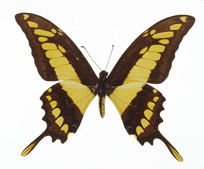 Swallowtail Butterfly Poster by Lawrence Lawry