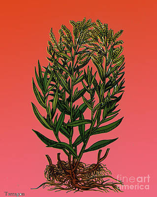 Tarragon, Perennial Herb Poster by Science Source