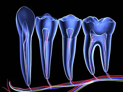 Teeth, Cross Section Poster by Pasieka