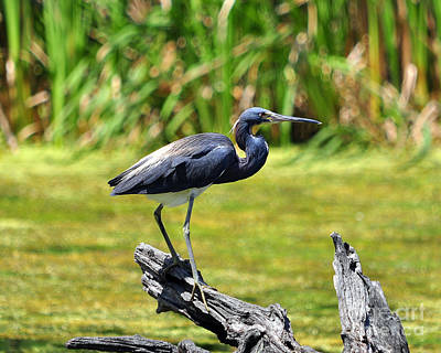 Tricolored Heron Poster by Al Powell Photography USA