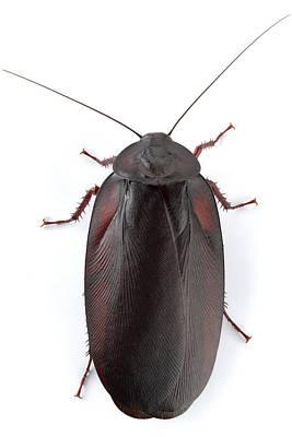 Wood Cockroach Barbilla Np Costa Rica Poster by Piotr Naskrecki