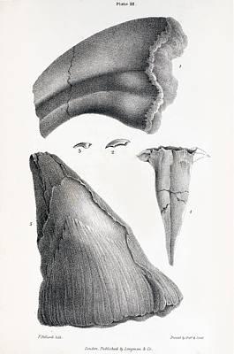 1833 Iguanodon Mistaken Spike Horn Fossil Poster by Paul D Stewart