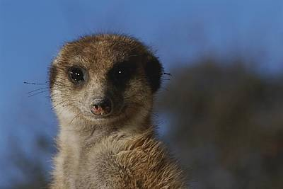 A Close View Of A Meerkat Suricata Poster by Mattias Klum