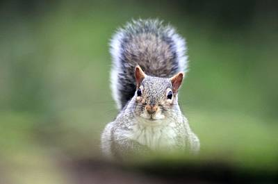 Grey Squirrel Poster by Colin Varndell