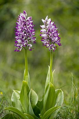 Monkey Orchid (orchis Simia) Poster by Bob Gibbons