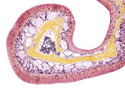 Nasal Lining, Light Micrograph Poster by Steve Gschmeissner