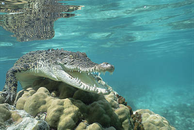 Saltwater Crocodile Crocodylus Porosus Poster by Mike Parry