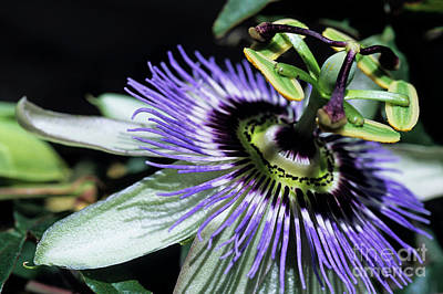 Stamen Of A Passionflower Poster by Sami Sarkis
