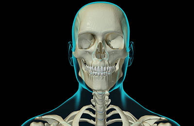 The Bones Of The Head And Neck Poster by MedicalRF.com