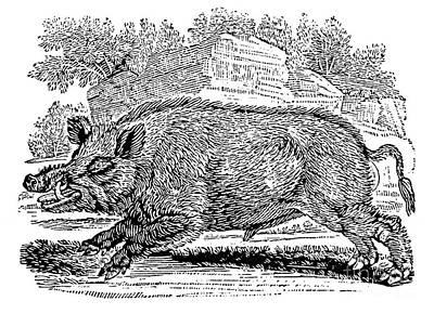 Wild Boar Poster by Granger