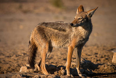 Black-backed Jackal Poster by Hein Welman