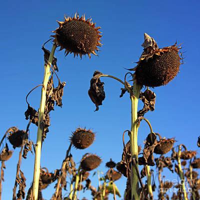 Sunflowers  Poster by Bernard Jaubert
