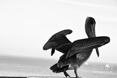 554 Bw Pelican In Monochrome Poster by Chris Berry