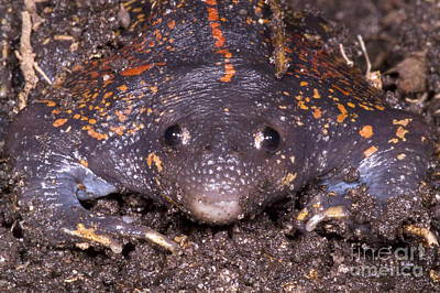Mexican Burrowing Toad Poster by Dante Fenolio