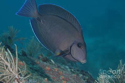 A Blue Tang Surgeonfish, Key Largo Poster by Terry Moore