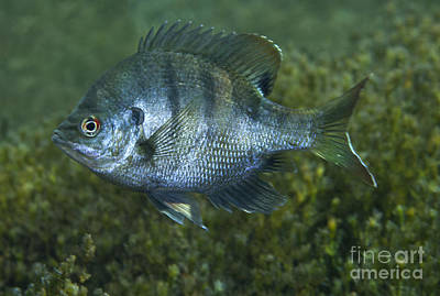 A Bluegill Freshwater Fish In Morrison Poster by Michael Wood