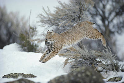 A Bobcat Leaps With A Horned Lark Poster by Michael S. Quinton