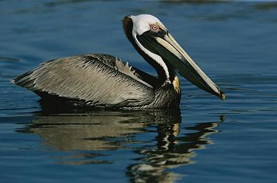 A Brown Pelican Floating Calmly Poster by Tim Laman