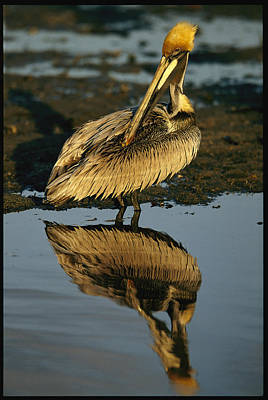 A Brown Pelican Preening Its Feathers Poster by Tim Laman