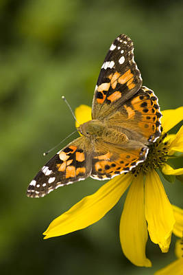 A Butterfly Sits Atop A Yellow Poster by Ralph Lee Hopkins