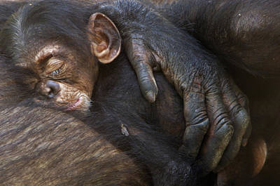 A Chimpanzee Infant Sleeping Poster by Frans Lanting