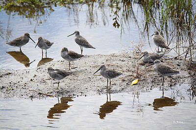 A Fling Of Long Billed Dowitchers Poster by Roena King