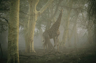 A Giraffe Walking In A Misty Forest Poster by Chris Johns