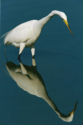 A Great Egret Hunting In Calm Water Poster by Tim Laman