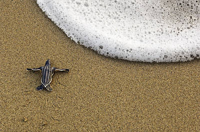 A Leatherback Turtle Hatchling Crawls Poster by Brian J. Skerry