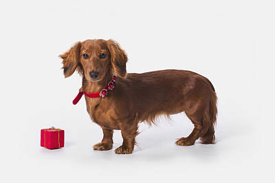 A Longhair Red Dachshund With A Small Poster by Corey Hochachka