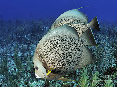 A Pair Of Gray Angelfish On A Caribbean Poster by Karen Doody