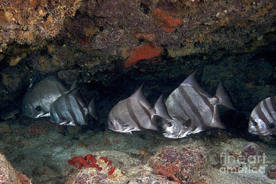 A School Of Atlantic Spadefish Poster by Terry Moore