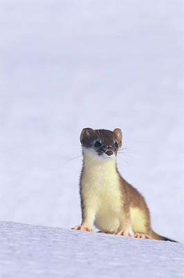 A Short-tailed Weasel Caught By An Poster by Paul Nicklen