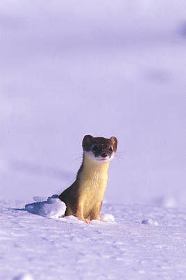 A Short-tailed Weasel Looks Poster by Nick Norman