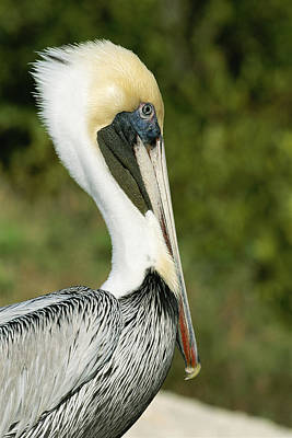 A Side View Of A Pelican Poster by Norbert Rosing