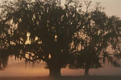 A Silhouetted Spanish Moss-draped Oak Poster by Sarah Leen