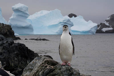 A Solitary Chinstrap Penguin Stands Poster by Paul Nicklen