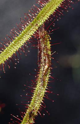A Sundew Carnivourous Plant, Drosera Poster by Jason Edwards