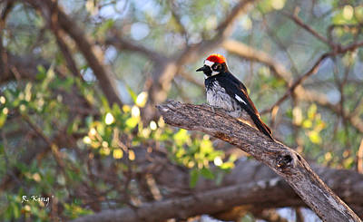 Acorn Woodpecker On A Branch Poster by Roena King