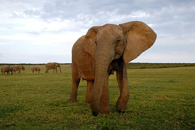 African Elephant Poster by Peter Chadwick