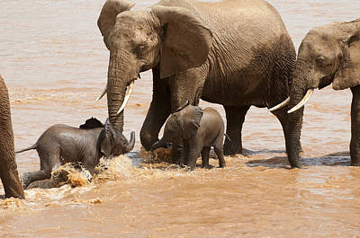 African Elephants Watch Babies Play Poster by Pete Mcbride